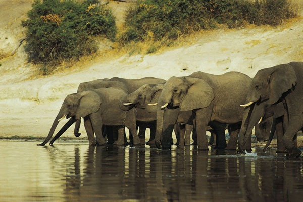 African elephants and their conservation efforts